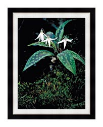 U S Fish And Wildlife Service White Trout Lily canvas with modern black frame