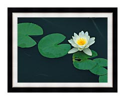 U S Fish And Wildlife Service White Water Lily canvas with modern black frame