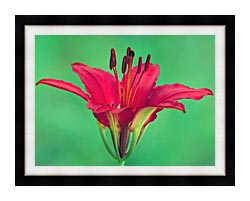 U S Fish And Wildlife Service Wood Lily canvas with modern black frame
