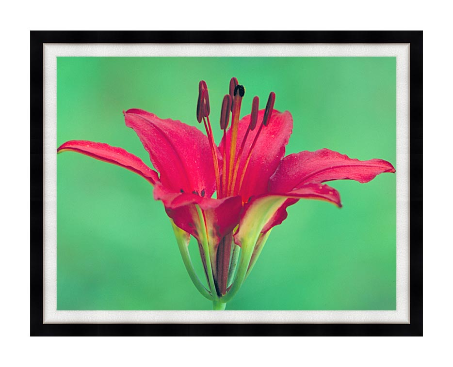 U S Fish and Wildlife Service Wood Lily with Modern Black Frame
