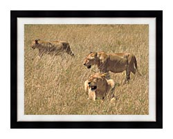 U S Fish And Wildlife Service African Lions canvas with modern black frame