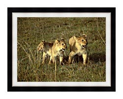 U S Fish And Wildlife Service African Lion Cubs canvas with modern black frame