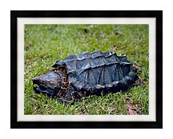 U S Fish And Wildlife Service Alligator Snapping Turtle canvas with modern black frame
