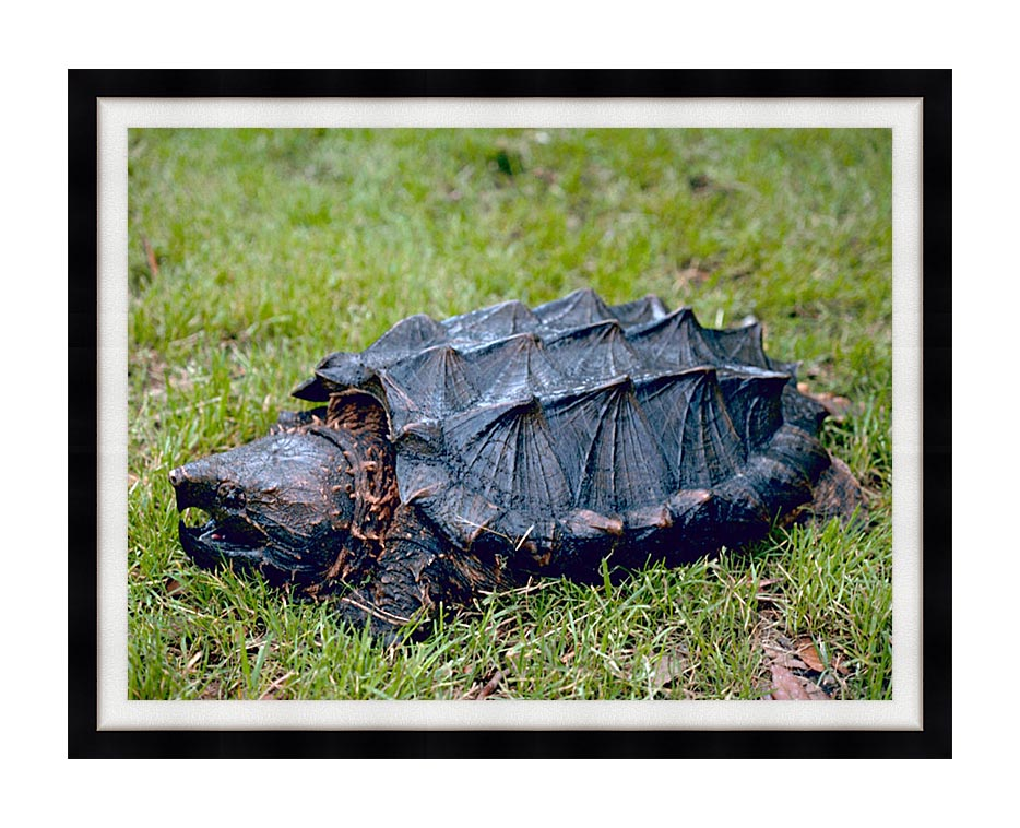 U S Fish and Wildlife Service Alligator Snapping Turtle with Modern Black Frame