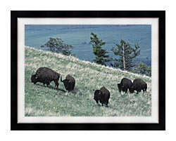 U S Fish And Wildlife Service Rocky Mountain Bison canvas with modern black frame