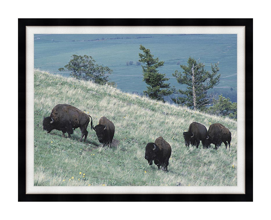 U S Fish and Wildlife Service Rocky Mountain Bison with Modern Black Frame