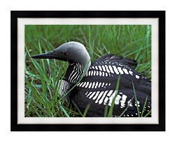 U S Fish And Wildlife Service Artic Loon canvas with modern black frame