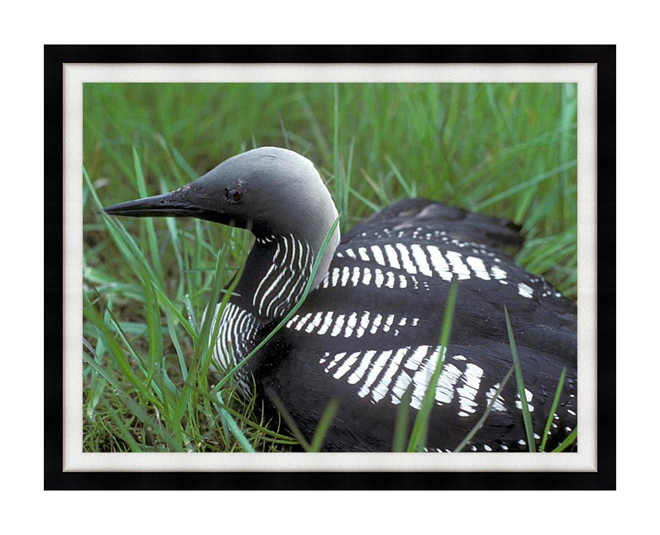 U S Fish and Wildlife Service Artic Loon with Modern Black Frame
