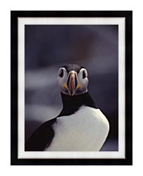 U S Fish And Wildlife Service Atlantic Puffin canvas with modern black frame