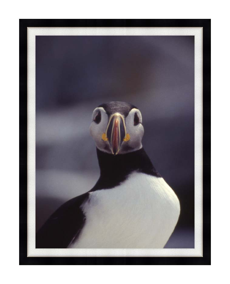 U S Fish and Wildlife Service Atlantic Puffin with Modern Black Frame