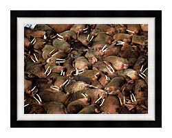 U S Fish And Wildlife Service Walrus Herd canvas with modern black frame
