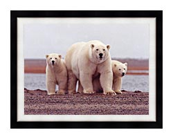 U S Fish And Wildlife Service Polar Bear Female With Cubs canvas with modern black frame