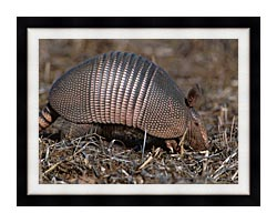 U S Fish And Wildlife Service Armadillo canvas with modern black frame