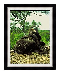 U S Fish And Wildlife Service Bald Eagle Chick canvas with modern black frame