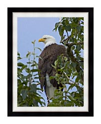 U S Fish And Wildlife Service Bald Eagle On Tree Branch canvas with modern black frame