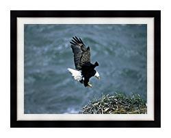 U S Fish And Wildlife Service Bald Eagle Landing On Nest canvas with modern black frame