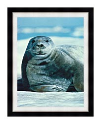 U S Fish And Wildlife Service Bearded Seal canvas with modern black frame