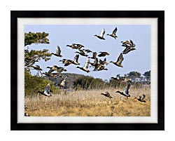 U S Fish And Wildlife Service Flock Of Waterfowl canvas with modern black frame