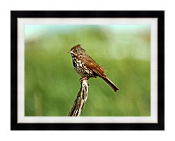 U S Fish And Wildlife Service Fox Sparrow canvas with modern black frame