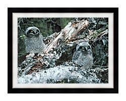 U S Fish And Wildlife Service Northern Hawk Owl Chicks canvas with modern black frame