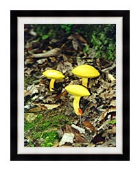 Ray Porter Yellow Bellys canvas with modern black frame