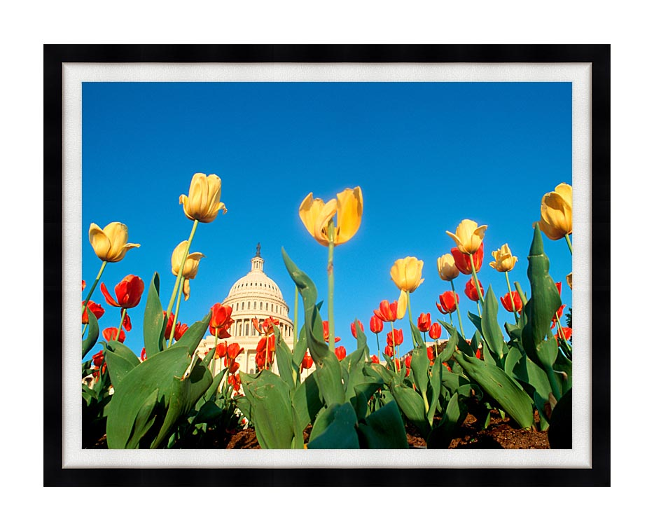 Visions of America Tulips in Spring with U S Capitol Building with Modern Black Frame