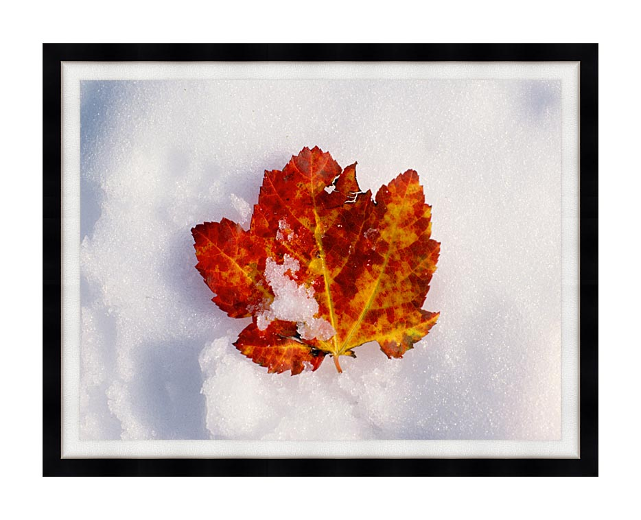 Visions of America Red Maple Leaf in Snow, Acadia National Park, Maine with Modern Black Frame