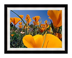 Visions of America Close Up Of California Poppies Blooming In Springtime canvas with modern black frame