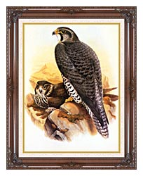 John Gould Gyrfalcon canvas with dark regal wood frame