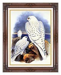 John Gould Gyrfalcon   Greenland Falcon canvas with dark regal wood frame
