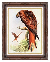 John Gould Red Kite canvas with dark regal wood frame