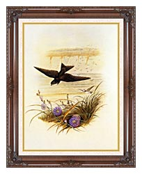 John Gould Sand Martin canvas with dark regal wood frame