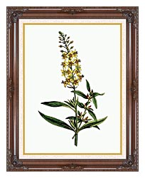 William Curtis Bulb Bearing Loosestrife canvas with dark regal wood frame