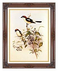 John Gould Woodchat Shrike canvas with dark regal wood frame