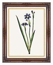 William Curtis Iris Leaved Sisyrinchium canvas with dark regal wood frame
