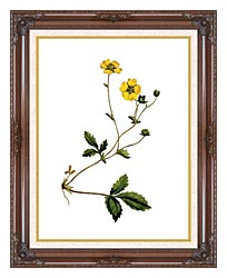 William Curtis Large Flowered Potentilla canvas with dark regal wood frame