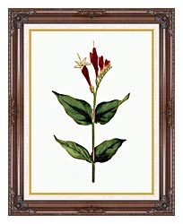 William Curtis Maryland Spigelia canvas with dark regal wood frame