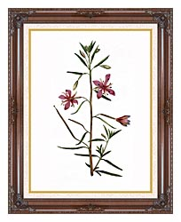 William Curtis Narrowest Leaved Willow Herb canvas with dark regal wood frame