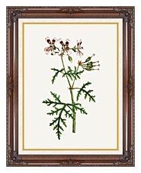 William Curtis Rasp Leaved Geranium canvas with dark regal wood frame