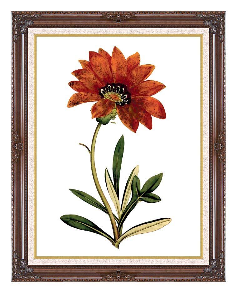 William Curtis Rigid-Leaved Gorteria with Dark Regal Frame w/Liner