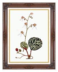 William Curtis Strawberry Saxifrage canvas with dark regal wood frame