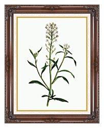 William Curtis Sweet Alyssum canvas with dark regal wood frame