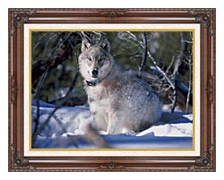 U S Fish And Wildlife Service Gray Wolf In Snow canvas with dark regal wood frame