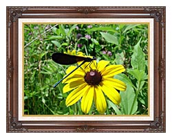 U S Fish And Wildlife Service Ebony Jewelwing On Black Eyed Susan canvas with dark regal wood frame