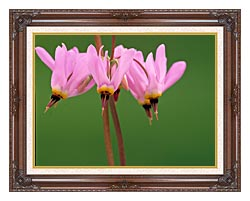 U S Fish And Wildlife Service Pink Shooting Star canvas with dark regal wood frame