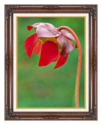 U S Fish And Wildlife Service Pitcher Plant canvas with dark regal wood frame