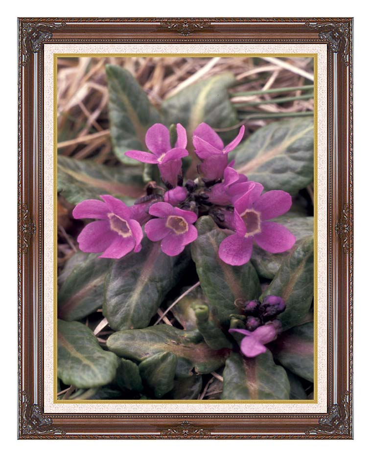 U S Fish and Wildlife Service Pribilof Wildflowers, Primula with Dark Regal Frame w/Liner