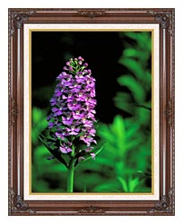 U S Fish And Wildlife Service Purple Fringed Orchid canvas with dark regal wood frame