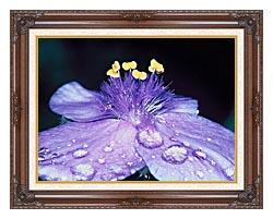 U S Fish And Wildlife Service Spider Wort Flower Art canvas with dark regal wood frame