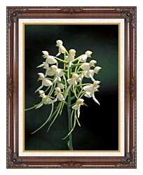 U S Fish And Wildlife Service White Fringeless Orchid canvas with dark regal wood frame